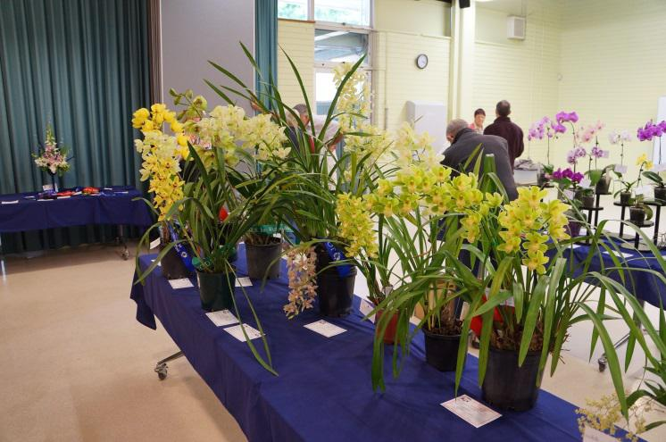Cymbidiums on display at John Oxley District Orchid Society Annual Show