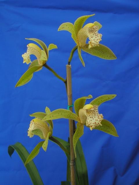 Cym. hookerianum