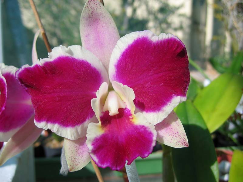 (C. Bhimayothin x C. Red Empress) 'Burdekin'