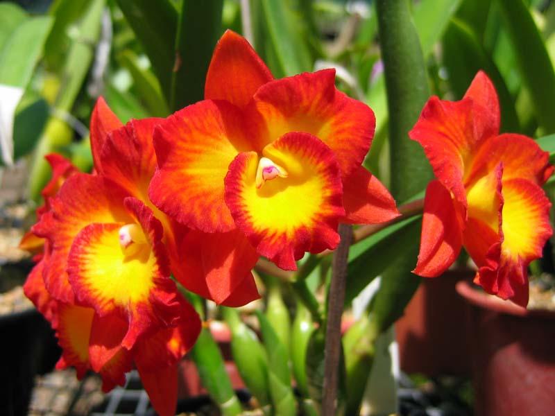 C. Rosella Jewel  'Volcano'