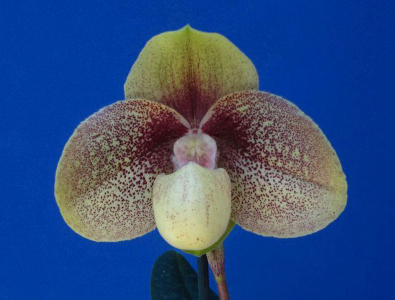 Paph. Chou-Yi Wench