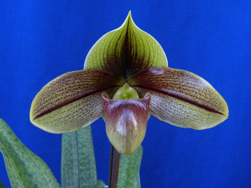 Paph. Iluka Queen`Marie`