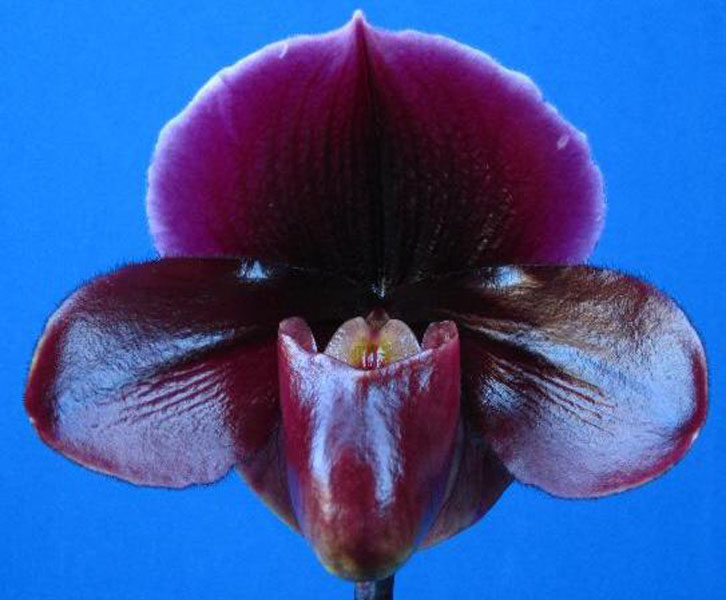 Paph. Pat Hart`First Choice'