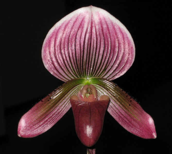 Paph. Treasure Island x Flame Arrow IMG_4117