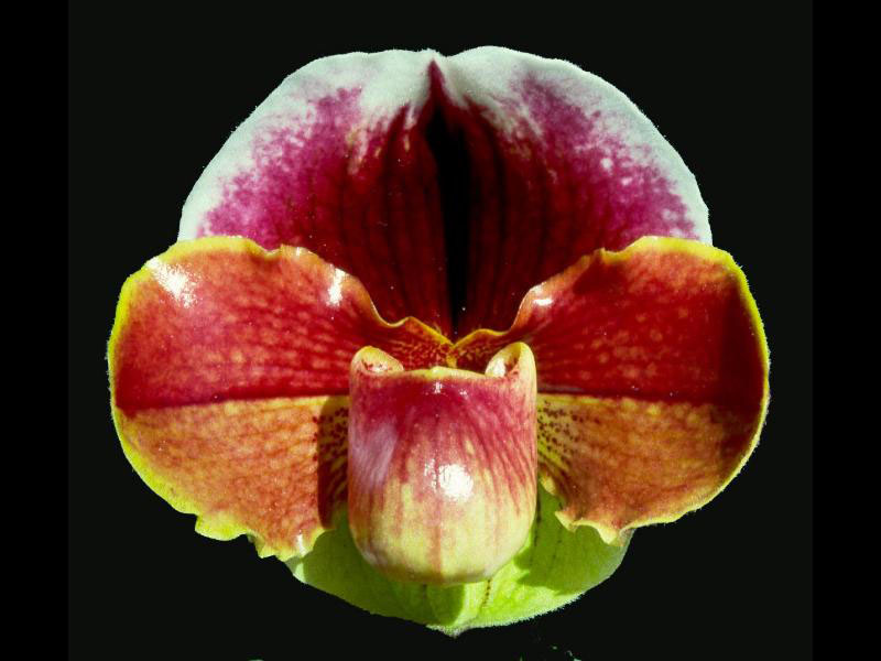 Paph.Highland Ruby 'Precious'AM