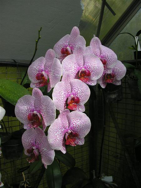 Phal. Spotted Chip