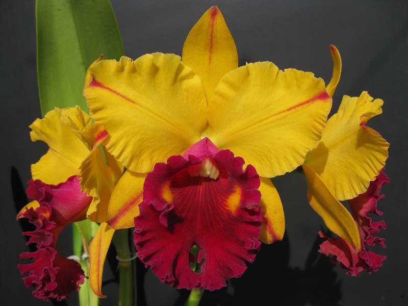 Rlc. Tainan Gold  'Golden Canary'