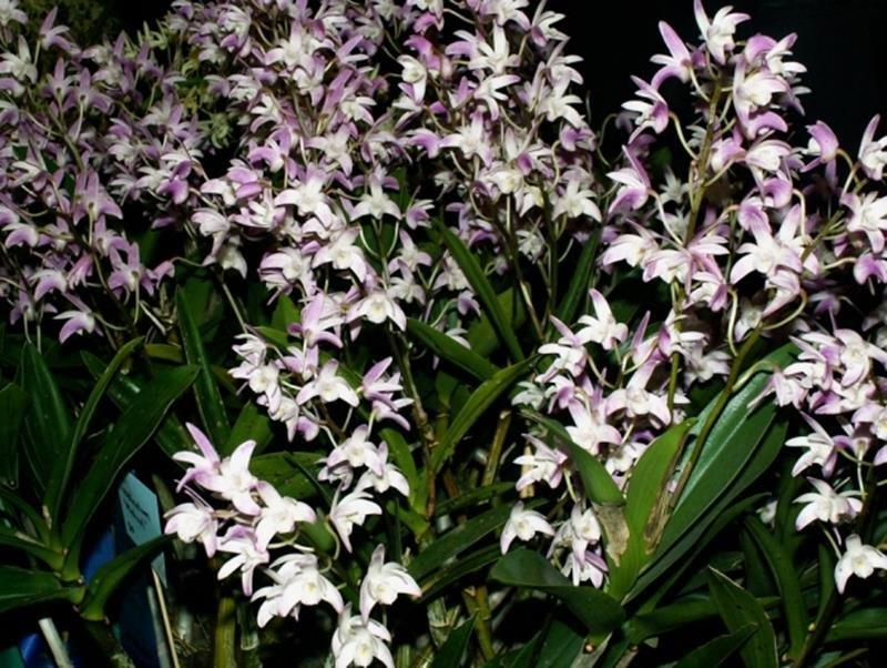 how to grow native australian orchids