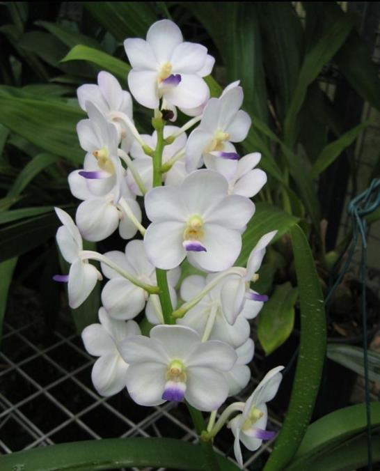 Ascda. Crownfox Magic`Gigi Magic`