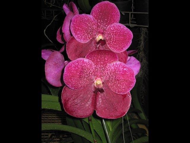 V.Roberts Delight`Garnet Beauty` IMG_0938