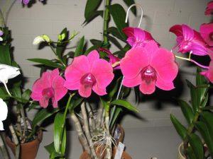 Den. ( Noble Giant x ( Den.Ram Misra Orchidglades 'Black Saphire ' x Dal's Classic x Dal's Wonder ) x Den. Barabuis Dark Knight x Thailand ) in flower