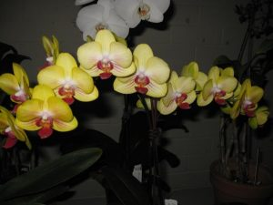 Dtps. Sin-Yuan 'Golden Beauty'. in flower