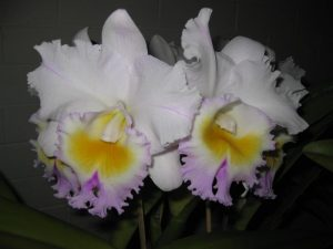 Rlc. California Girl orchid in flower
