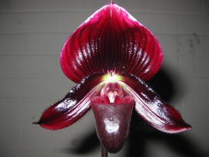 Paph. John Francis x Night Arrow