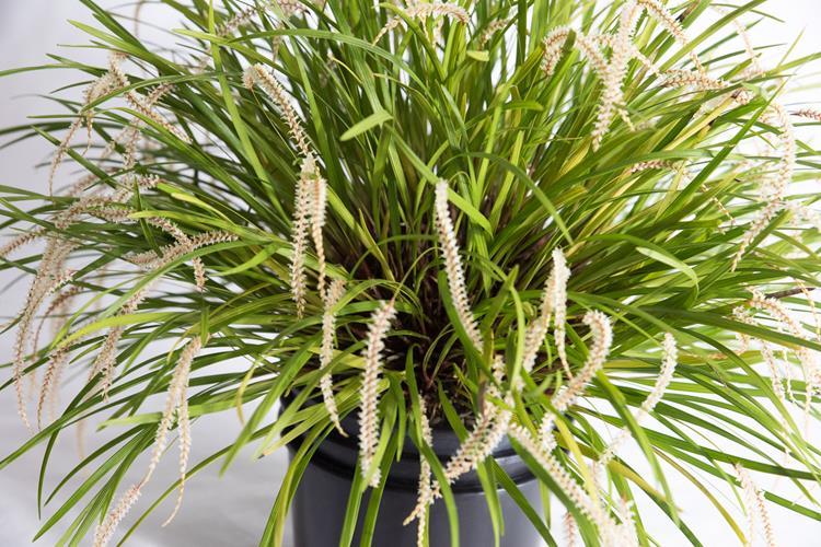 Ddc. wenzelii stenophyllum