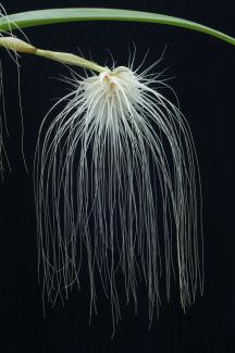 Bulb. medusae