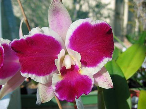 ( C. Bhimayithon x C. Red empress ) ' Burdekin '