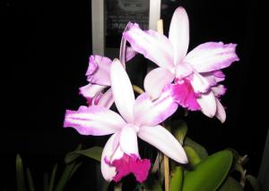 C. intermedia var. aquinii