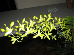 Den. canaliculatum x discolour x bloomfeildii