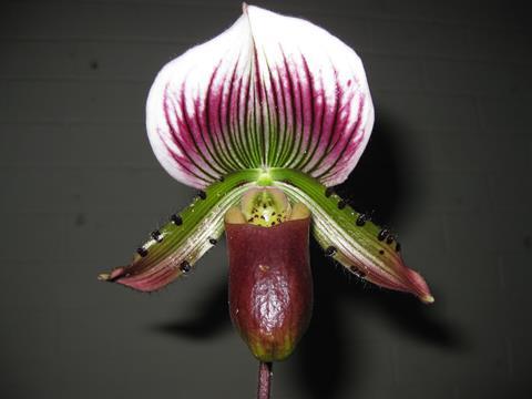 Plant: Paph. Maudiae ' Commander ' x ' Los Osos '