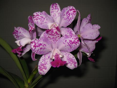 C. Interglossa. Grower: G. & E. Markcrow
