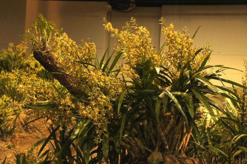 Ansellia africana mature plant