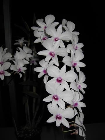 Plant: Den. affine