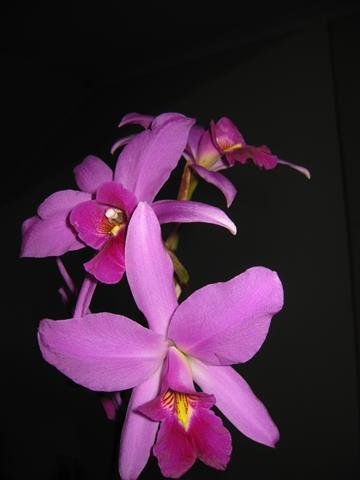 Plant: L. anceps