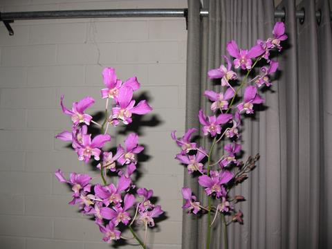 Den. superbiens  Grower: R. Mollee