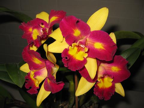 Rlc. Shing Shiang Diamond