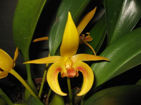 Bulb. Wilmar Galaxy Star