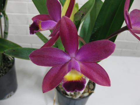 L. crispata x (C. Landate x C. milleri) x Ctt. Susan Holcombe