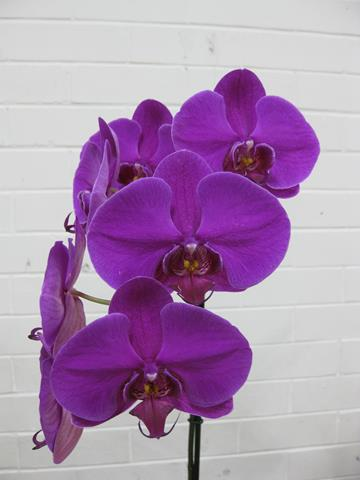 Phal. Unknown