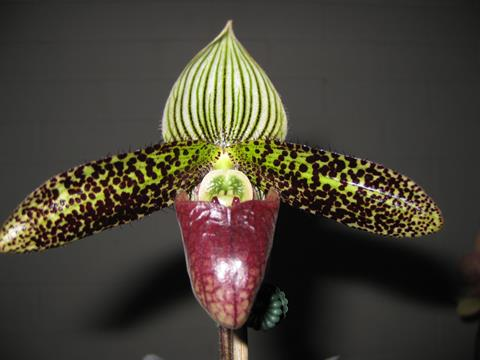 Paph. Sukahulii