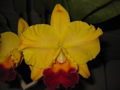 Rlc. Golden Majestic 'Rudak'