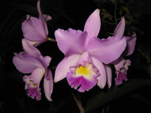 C. Angel Love ' Laina '