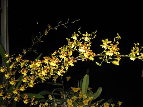 Onc. sphacelatum