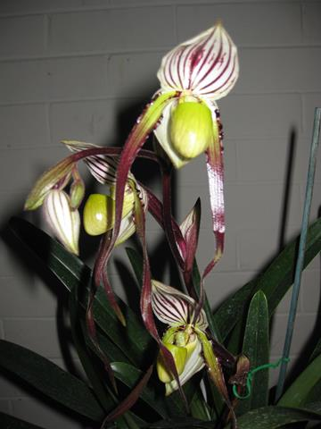 Paph. (Braidrod x Orchilis) x Opera Star ' Diva ' ( Plant appears to be wrongly named )