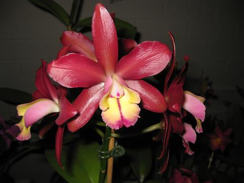 Ctt. Chocolate Drop x C harrisoniana