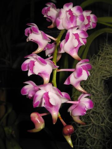Aer. lawerenceae