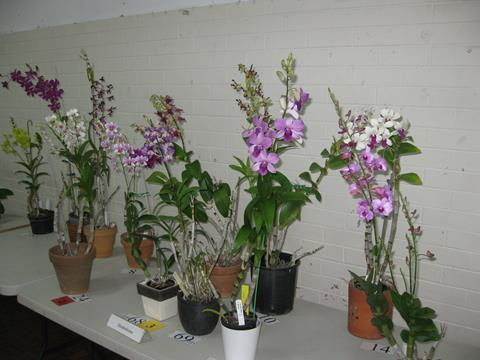 Section of Dendrobiums