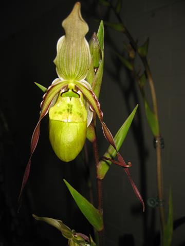 Phrag. Conchiferum ' Montville '