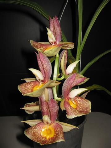 Ctsm. Orchidglade