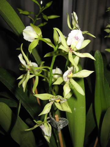 E. fragrans