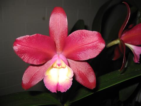 Ctt. Chocolate Drop x C. harrisoniana.