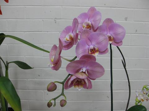 Phal. Unknown.