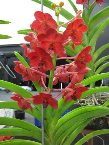 Ascda. Yip Sum Wah ' King Red'.