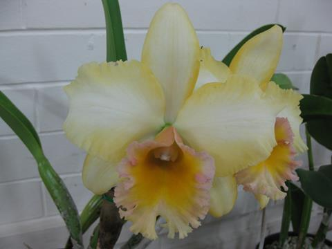 Rlc. Malworth 'Orchidglade'