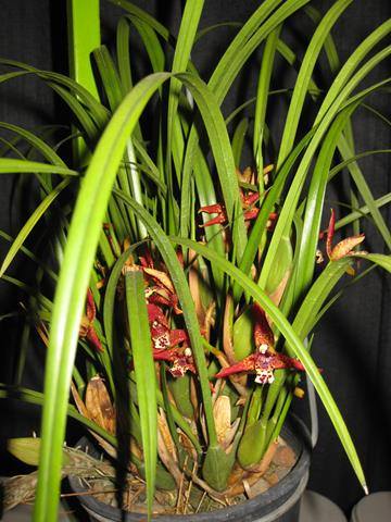 Maxillaria tennifolia