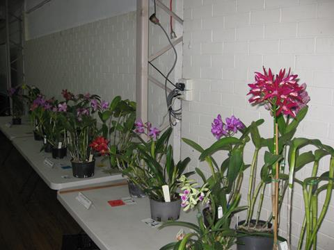 A selection of benched Cattleyas at the meeting.